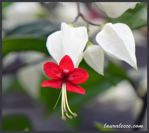 My Bleeding Heart Vine - Photograph by Laura Lecce