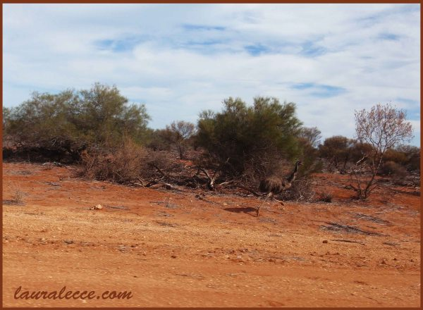Spot the Emu - Photograph by Laura Lecce