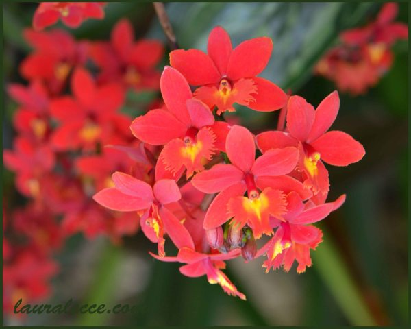 Epidendrum - Photograph by Laura Lecce