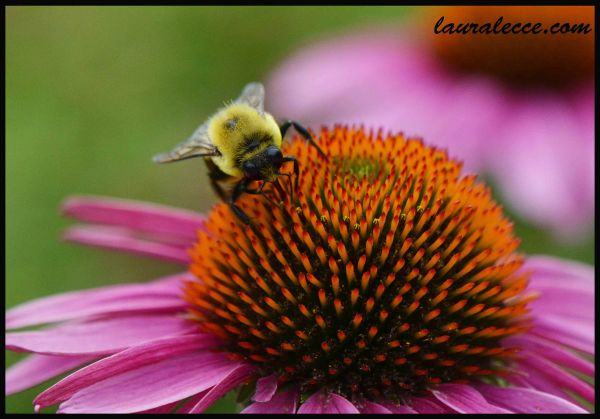 Echinacea with a Bee - Photograph by Laura Lecce