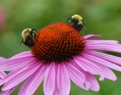 Echinacea flowers make the bees happy