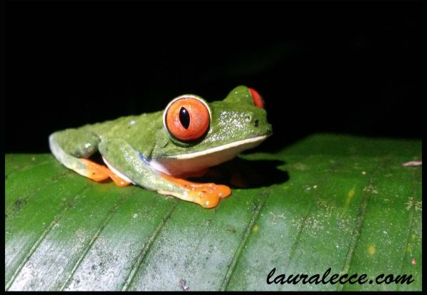 Red-eyed tree frog - Photograph by Laura Lecce