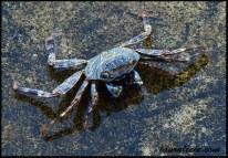 Jamaican shore crab