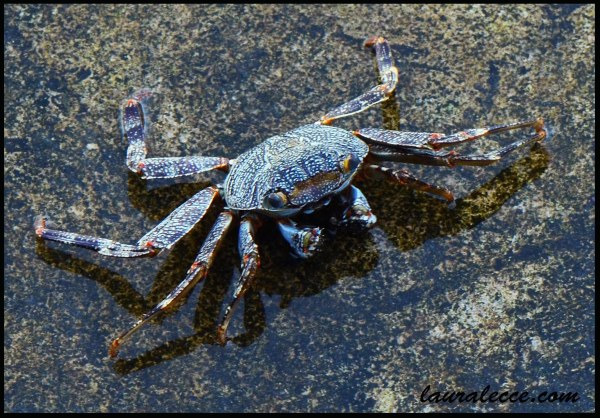 Jamaican shore crab - Photograph by Laura Lecce