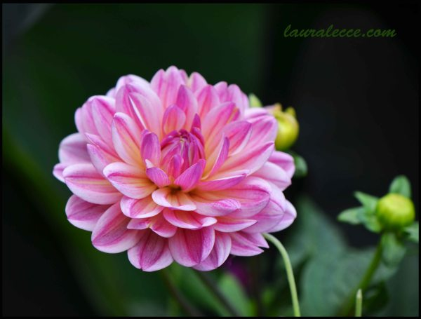Pink Dahlia - Photograph by Laura Lecce