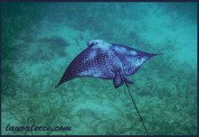 Spotted Eagle Ray in Jamaica