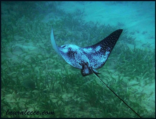spotted-eagle-ray2