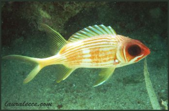 Squirrelfish with attitude