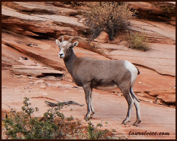 Bighorn Sheep - Photograph by Laura Lecce