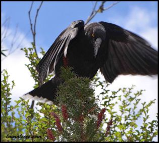 Black currawong and her honey bush