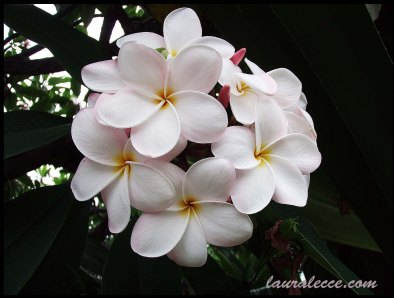 Frangipanis in baby pink