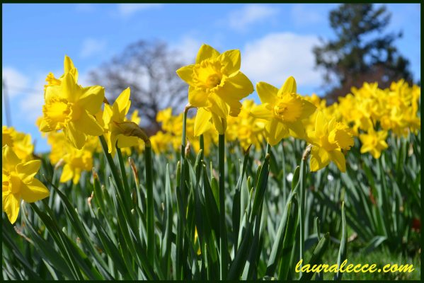 The daffodils are coming - Photograph by Laura Lecce