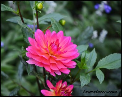 Electric Pink Dahlia