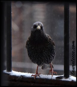 Starling in a Snowstorm