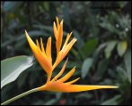 Yellow Heliconia - Photograph by Laura Lecce