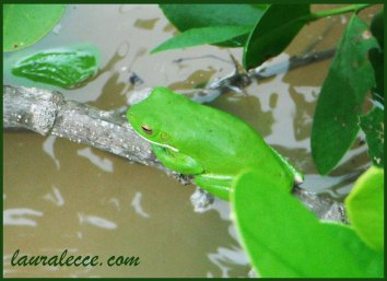 Nothing's greener than a tree frog