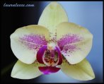 Sweet natured phalaenopsis
