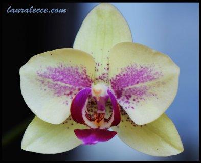 Sweet natured phalaenopsis