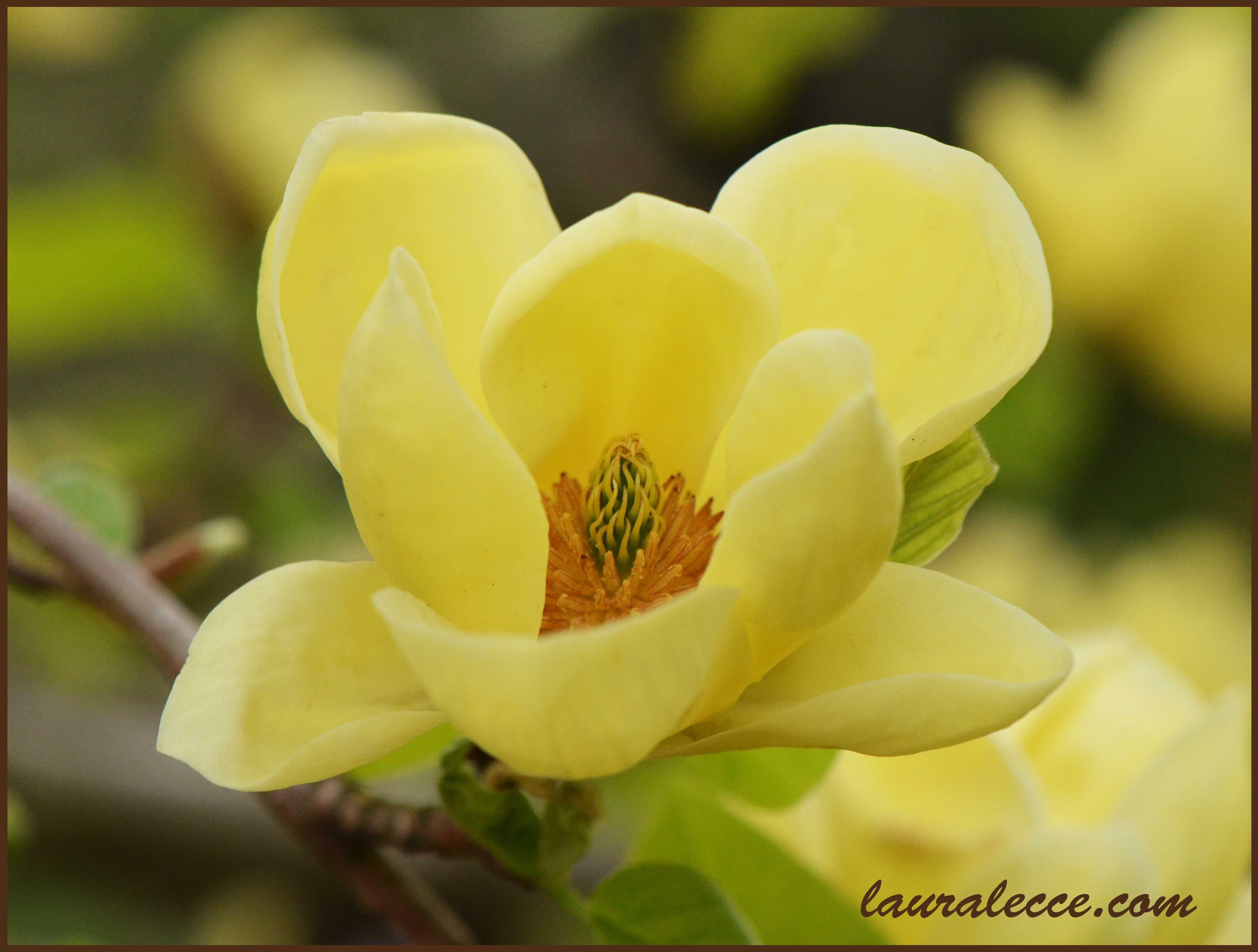 Friday Flower Yellow Magnolia Laura Lecces Art And Photography