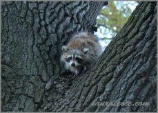 Ball of fluff raccoon