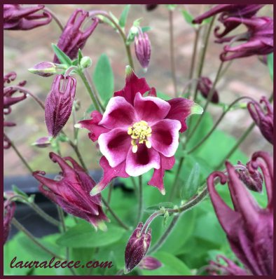 Adorable Aquilegia