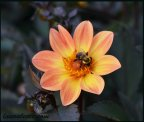 The sunniest dahlia