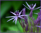 A bright star Allium