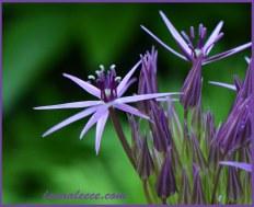 A bright star Allium