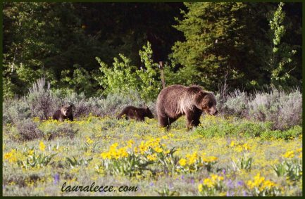 A grizzly bear and her cubs in a field of flowers