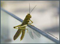 Blue Eyed Grasshopper
