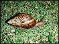 Malaysian Snail