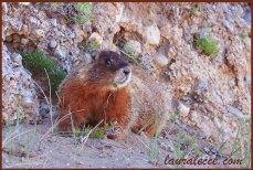 The marmot I met