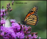 Ironweed with a monarch