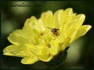Yellow zinnia with a yellowjacket