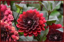 Blood red dahlia