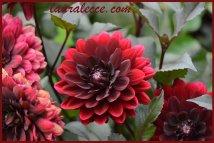 Blood red dahlia