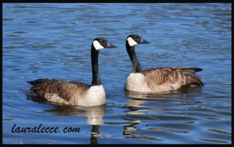 Two glorious geese