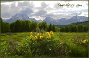 Wildflowers with the Tetons