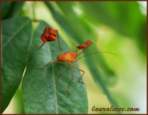 Flag footed bug from Belize