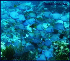 Many Fishes Blue