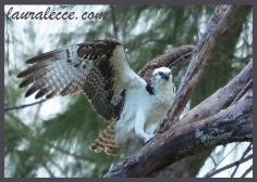 Outstretched Osprey