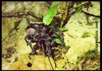 Terrifying Tarantula