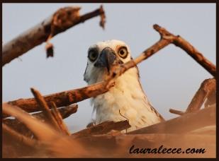 Staring at an osprey