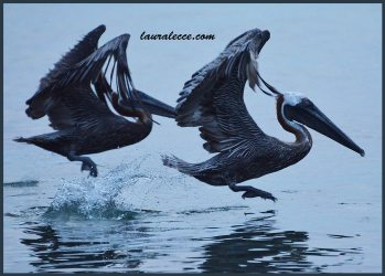 Dance of the Pelicans 1