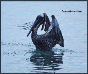 Dance of the Pelicans 2