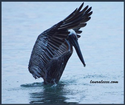 Dance of the Pelicans 3