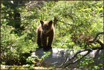 Spring brings baby bears