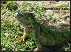 Gremlin Iguana