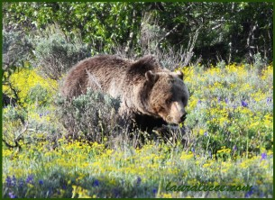 Grizzly in a field of flowers