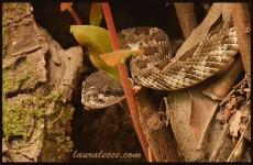 Yosemite rattlesnake